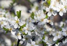 Primavera, floración Fotografía de archivo libre de regalías