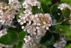 Primavera floreciente b blanco de la flor del jardín de la floración de la pequeña del color de la hoja de la estación del verano Fotos de archivo