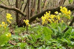 Primavera floreciente - officinalis del Primula Foto de archivo libre de regalías