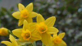 Primavera Flores amarillas hermosas almacen de metraje de vídeo