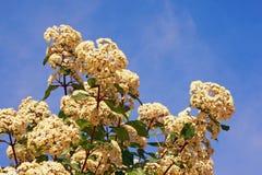 primavera Flores blancas del tinus del Viburnum del viburnum Imagen de archivo