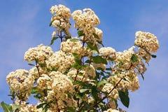 primavera Flores blancas del viburnum contra el cielo azul Foto de archivo libre de regalías