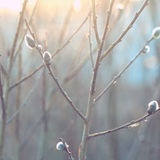 Primavera, foco suave Rama del sauce con amentos Fotos de archivo libres de regalías