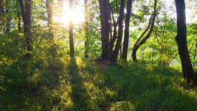 Primavera Forest Sunset Bosque en el amanecer almacen de metraje de vídeo