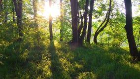 Primavera Forest Sunset Foresta all'alba video d archivio