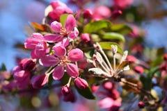 primavera Fundo floral bonito do sumário da mola da natureza Ramos de florescência das árvores para cartões da mola com cópia Imagens de Stock Royalty Free