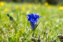 Primavera genziana nelle alpi tedesche Fotografia Stock