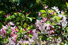 Primavera giapponese Cherry Blossom e ape fotografia stock libera da diritti