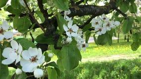 Primavera, gli alberi da frutto stanno fiorendo I rami d'ondeggiamento del vento con giovane fogliame verde ed i fiori teneri video d archivio