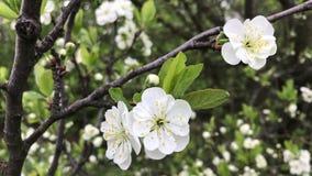 Primavera, gli alberi da frutto stanno fiorendo I rami d'ondeggiamento del vento con giovane fogliame verde ed i fiori teneri stock footage