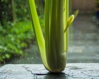primavera Gotas frescas do aipo e da chuva no vidro da janela Fotos de Stock