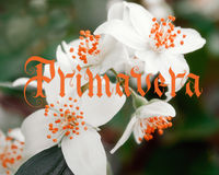 Primavera hand lettering. With flowers on background. Parallel pen calligraphy Stock Images