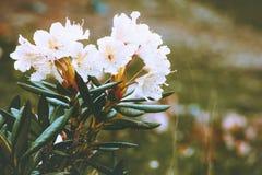 Primavera hermosa del color blanco de las flores de los rododendros estacional imagen de archivo