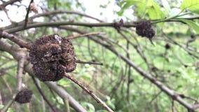 Primavera, i rami d'ondeggiamento del vento di un albero con le giovani foglie archivi video
