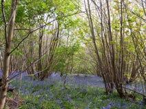 primavera interior del arbolado del bosque con las flores de campanas azules a través del flo imagen de archivo libre de regalías