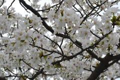 Primavera a Kyoto, Giappone Immagini Stock