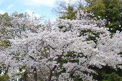 Primavera a Kyoto, Giappone Fotografia Stock