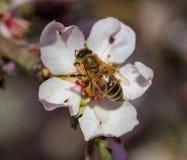 primavera La abeja de la miel que recolecta el polen del árbol de almendra florece Imágenes de archivo libres de regalías