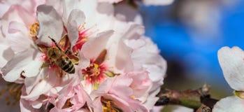 primavera La abeja de la miel que recolecta el polen del árbol de almendra florece, fondo del cielo azul, bandera Imagen de archivo