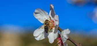primavera La abeja de la miel que recolecta el polen del árbol de almendra florece, fondo del cielo azul, bandera Foto de archivo