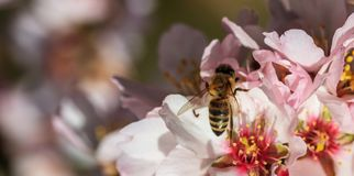 primavera La abeja de la miel que recolecta el polen del árbol de almendra florece, fondo de la falta de definición Foto de archivo