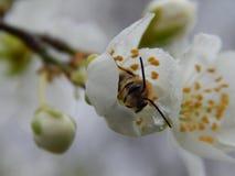 Primavera La abeja en la flor Fotos de archivo libres de regalías