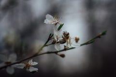 Primavera La abeja recoge el polen del néctar de las flores blancas en primavera Abeja y flor blanca con el fondo borroso Fotografía de archivo libre de regalías