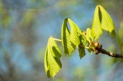 Primavera Las primeras hojas y brotes en un primer de la rama de árbol, en un fondo borroso Foco suave Copie el espacio Fondo nat fotos de archivo libres de regalías