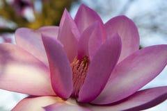 Primavera a Londra ` Di Leonard Messel del ` della magnolia, fiore rosa ed apertura del germoglio sull'albero Fotografia Stock Libera da Diritti