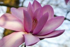 Primavera a Londra ` Di Leonard Messel del ` della magnolia, fiore rosa ed apertura del germoglio sull'albero Fotografie Stock Libere da Diritti