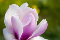 Primavera a Londra ` Di Leonard Messel del ` della magnolia, fiore rosa ed apertura del germoglio sull'albero Fotografie Stock