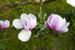 Primavera a Londra ` Di Leonard Messel del ` della magnolia, fiore rosa ed apertura del germoglio sull'albero Immagini Stock