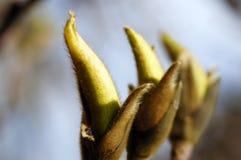 Primavera. los brotes de la magnolia. Fotografía de archivo