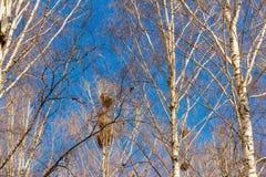 Primavera, los pájaros están detrás, las jerarquías de grajos en los abedules en el parque Imagen de archivo