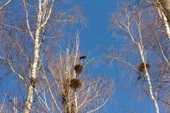 Primavera, los pájaros están detrás, las jerarquías de grajos en los abedules en el parque Fotos de archivo