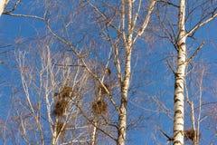 Primavera, los pájaros están detrás, las jerarquías de grajos en los abedules en el parque Fotografía de archivo