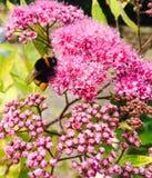 Primavera, macro, foto, abeja, en mi jardín, por el iPhone 5s Fotografía de archivo