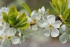 Primavera, mellifera de los Apis de la abeja en el árbol frutal flourishing Imagen de archivo libre de regalías