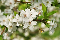 Primavera, mellifera de los Apis de la abeja en vuelo en el árbol frutal flourishing Imagenes de archivo