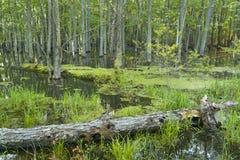 primavera na floresta Imagem de Stock