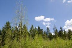 Primavera nel legno Immagini Stock Libere da Diritti