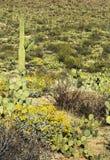 Primavera nel parco nazionale del saguaro Fotografia Stock