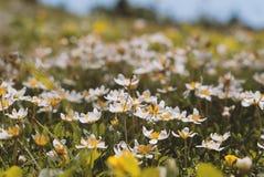 Primavera nelle alpi Flora della montagna Immagine Stock Libera da Diritti