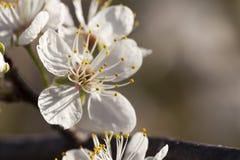 Primavera - nuevo crecimiento y flores en un árbol de ciruelo mexicano Foto de archivo libre de regalías
