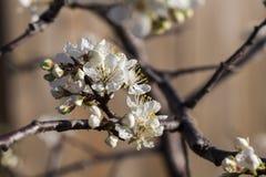 Primavera - nuevo crecimiento y flores en un árbol de ciruelo mexicano Fotos de archivo