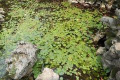 Primavera-nymphaea L della foglia di Lotus Immagine Stock Libera da Diritti