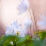 A primavera é o momento para esta flor bonita. Anêmona de Snowdrop Fotos de Stock Royalty Free