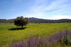Primavera: olivo y wildflowers viejos Imagen de archivo libre de regalías