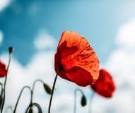 Primavera Poppy Flowers Imagenes de archivo