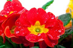 Primavera potted floreciente roja Imagenes de archivo